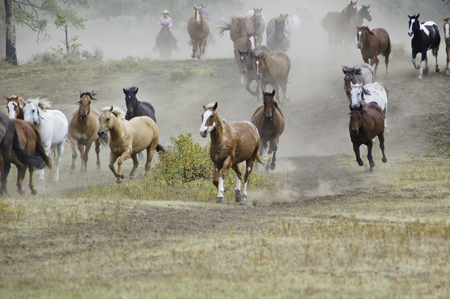 Wranglers round up the heard at the Elk Horn Ranch